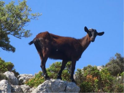 Mountain goats Mallorca : Looking for my kid