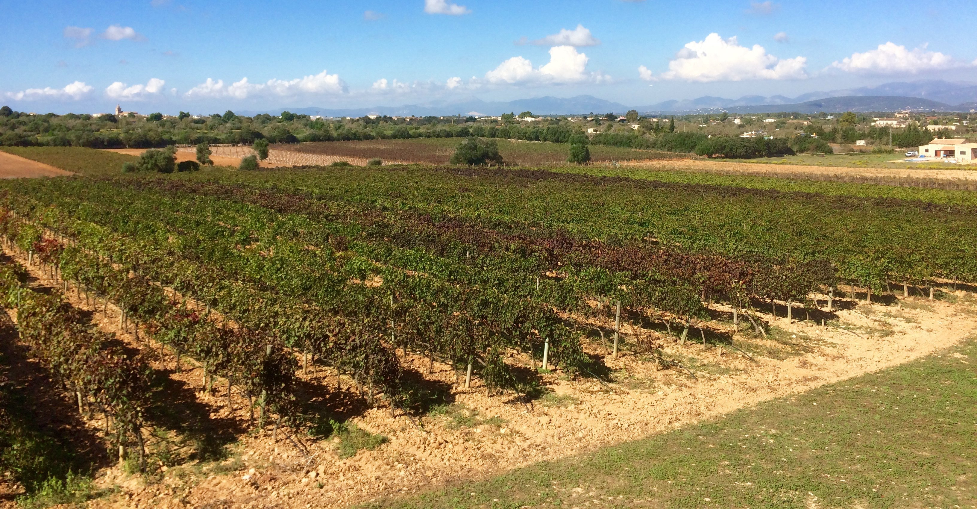 Mallorca Wine - Bodega Oliver Moragues - View across the vineyard