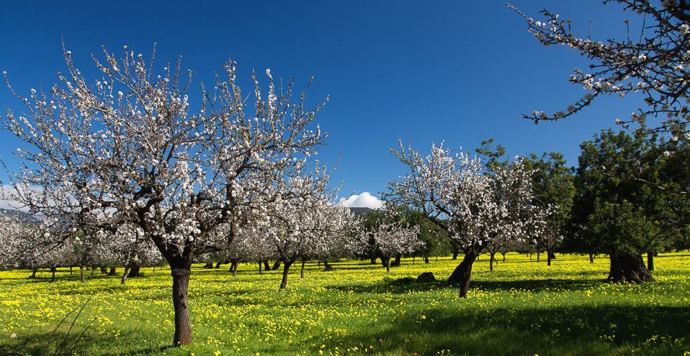 Fields of Almond Blossom January in Mallorca