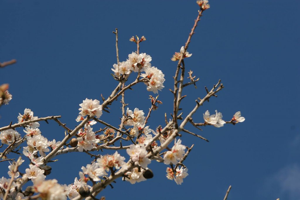 Blossoms in Mallorca - Almonds