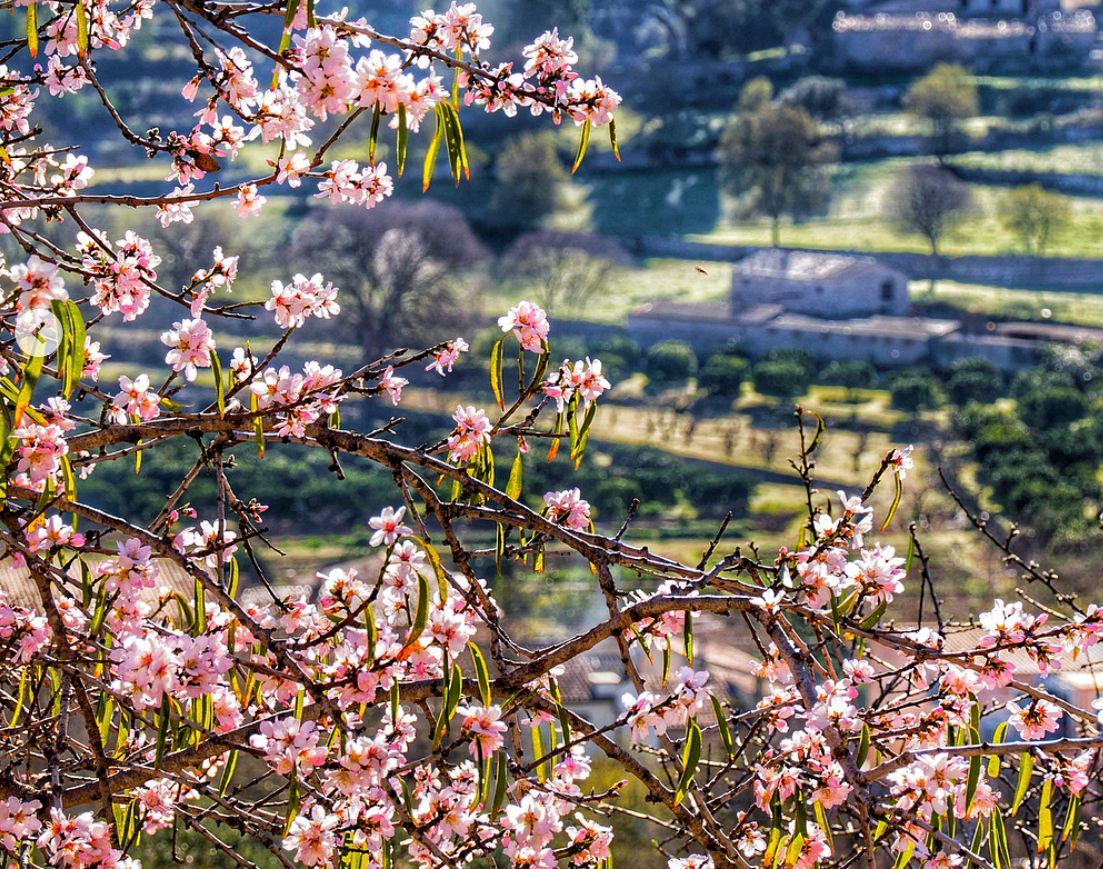 Almond Blossom in the Tramuntana